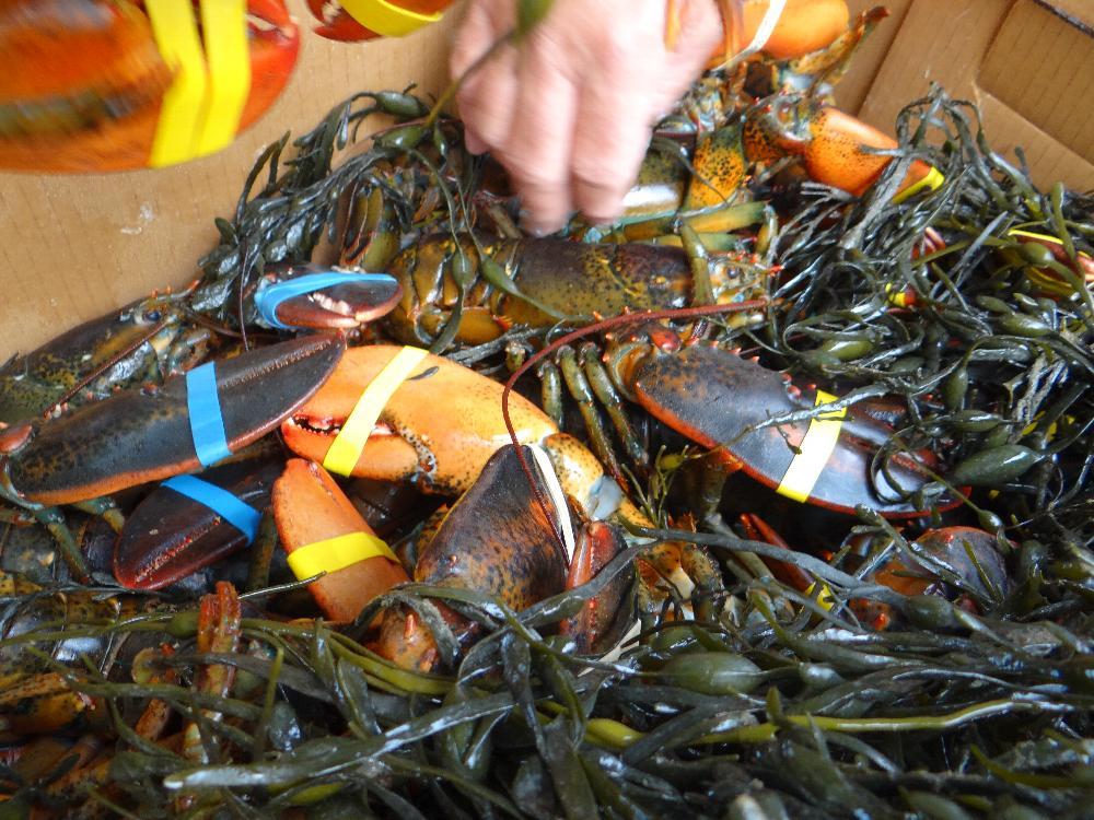 Fresh Lobsters For Dinner